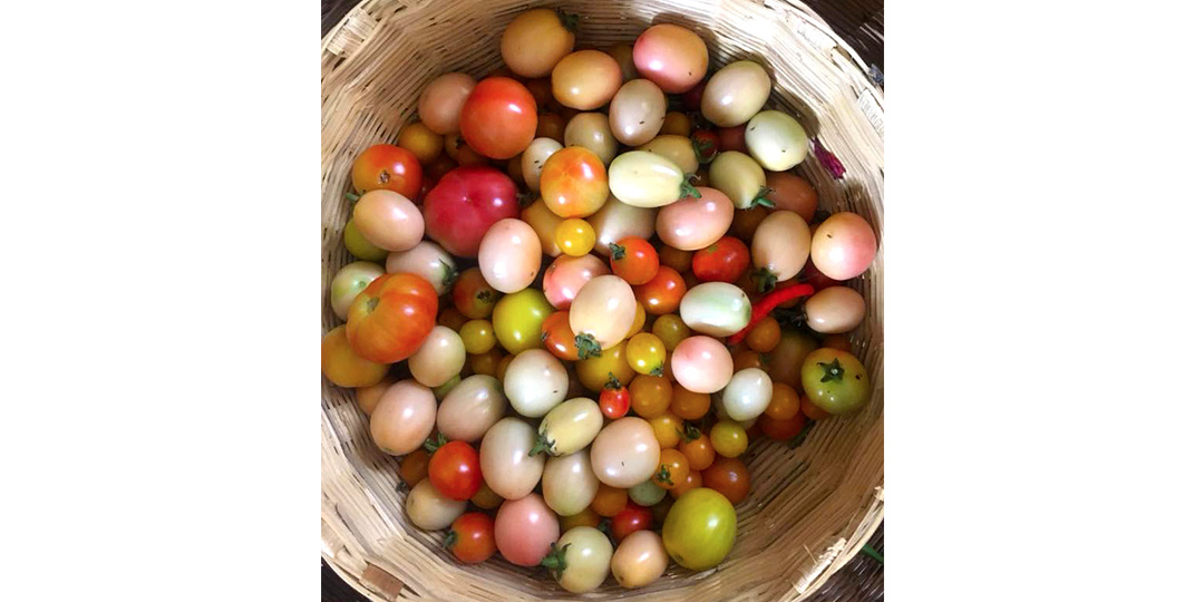 fresh tomatoes from IPC veggie patch