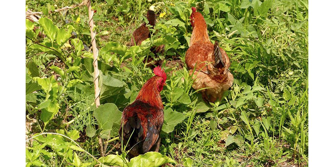 Our free range chicken